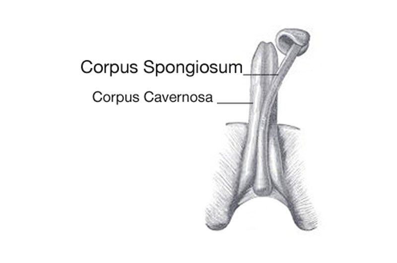 is your corpus spongiosum causing your bent erection?, Human Body